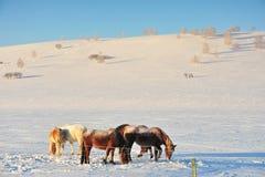 Τα άλογα στα snowfileds Στοκ φωτογραφία με δικαίωμα ελεύθερης χρήσης