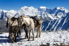 Τα άλογα στο πέρασμα Karaturek στο υπόβαθρο τοποθετούν Belukha, Al Στοκ εικόνα με δικαίωμα ελεύθερης χρήσης