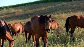 Τα άλογα τρώνε τη χλόη φιλμ μικρού μήκους