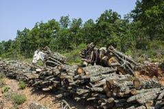 Τα άλογα φέρνουν τα ξύλα περικοπών στο δάσος Στοκ Φωτογραφία