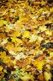 Τα έντονα, θερμά sunrays φωτίζουν τα ξηρά, χρυσά φύλλα οξιών που καλύπτουν το δασικό έδαφος στοκ εικόνες