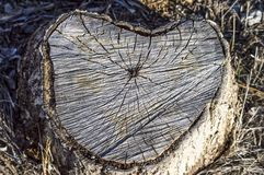 Τα δέντρα λευκών που κόβονται από το κατώτατο σημείο, κόβουν τα σχέδια δέντρων Στοκ εικόνες με δικαίωμα ελεύθερης χρήσης