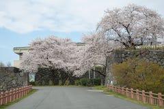 Τα δέντρα κεράσι-ανθών πλήρους άνθισης στο κάστρο Kajo σταθμεύουν την είσοδο Στοκ Εικόνες