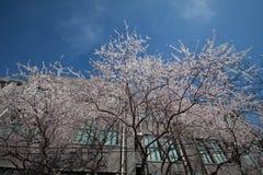 Τα δέντρα κερασιών στο Πεκίνο την άνοιξη Στοκ εικόνα με δικαίωμα ελεύθερης χρήσης