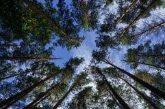 Τα δέντρα πεύκων και ο ουρανός, ανατρέχουν Στοκ Εικόνες