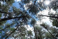 Τα δέντρα πεύκων Στοκ Εικόνα