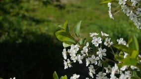 Τα δέντρα που ανθίζουν στη μέλισσα κήπων που πετά τη σαφή φύση ουρανού δέντρα επικονίασης μελισσών θερινών τα όμορφα λουλουδιών ζ