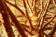 Τα δέντρα που ξεφλουδίζουν τους φλοιούς, μέσα πέφτουν εποχές Στοκ Εικόνες