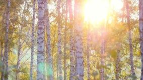 Τα δέντρα σημύδων σε ένα θερινό δάσος κατά τη διάρκεια του καταπληκτικού ηλιοβασιλέματος σε σε αργή κίνηση με το φακό καίγονται α φιλμ μικρού μήκους