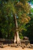 Τα δέντρα στους τοίχους ναών prohm TA anglicanism Καμπότζη Στοκ εικόνα με δικαίωμα ελεύθερης χρήσης