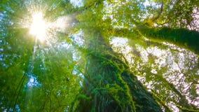 Τα δέντρα στο υγρό τροπικό δάσος που καλύπτεται με το βρύο απόθεμα βίντεο