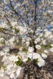 Τα δέντρα της Apple ανθίζουν την άνοιξη Στοκ Φωτογραφίες