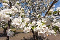 Τα δέντρα της Apple ανθίζουν την άνοιξη Στοκ Εικόνες