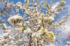 Τα δέντρα της Apple ανθίζουν την άνοιξη Στοκ εικόνες με δικαίωμα ελεύθερης χρήσης