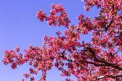 Τα δέντρα της Apple καβουριών ανθίζουν την άνοιξη Στοκ Εικόνες
