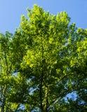 Τα έτη αύξησης σε ένα δρύινο δέντρο με τους μπλε ουρανούς στοκ φωτογραφία