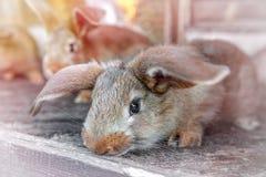 Τα έχοντα νώτα κόκκινα κουνέλια ζουν σε ένα κλουβί με το σανό Αναπαραγωγή ζώων αγροκτημάτων για την πώληση στοκ φωτογραφία