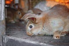 Τα έχοντα νώτα κόκκινα κουνέλια ζουν σε ένα κλουβί με το σανό Αναπαραγωγή ζώων αγροκτημάτων για την πώληση στοκ εικόνες