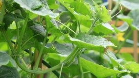 Τα αγγούρια που ανθίζουν σε ένα φυτώριο φιλμ μικρού μήκους