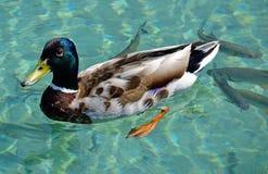Τα αγριόχηνα κολυμπούν στη λίμνη το καλοκαίρι Στοκ Εικόνες