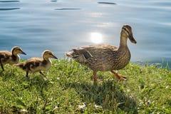 Τα αγριόχηνα στη λίμνη, μια οικογένεια των αγριοχήνων και έναν ήλιο καίγονται στοκ φωτογραφία με δικαίωμα ελεύθερης χρήσης