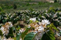 Τα αγροκτήματα καφέ, δέντρα καφέ είναι άνθηση part2 στοκ φωτογραφία με δικαίωμα ελεύθερης χρήσης