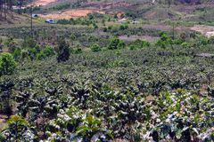 Τα αγροκτήματα καφέ, δέντρα καφέ είναι άνθηση part4 στοκ εικόνες