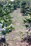 Τα αγροκτήματα καφέ, δέντρα καφέ είναι ανθίζοντας στοκ εικόνα με δικαίωμα ελεύθερης χρήσης