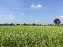 Τα αγροκτήματα ρυζιού μου στοκ εικόνα με δικαίωμα ελεύθερης χρήσης