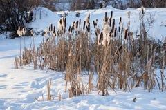 Τα αλσύλλια των ξηρών καλάμων λιμνών στέκονται στο χιόνι, κοντά στη χιονισμένη ακτή Στοκ Φωτογραφία
