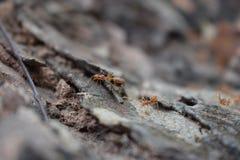 Τα αναρριμένος μυρμήγκια Στοκ Εικόνες