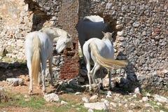 τα ανδαλουσιακά άλογα ζευγών επικολλούν το λευκό Στοκ εικόνα με δικαίωμα ελεύθερης χρήσης