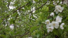 Τα ανθίζοντας άσπρα λουλούδια δέντρων απόθεμα βίντεο