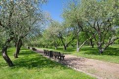 Τα ανθίζοντας δέντρα της Apple καλλιεργούν την άνοιξη Στοκ Εικόνα