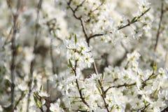 Τα ανθίζοντας δέντρα της Apple καλλιεργούν την άνοιξη Στοκ εικόνες με δικαίωμα ελεύθερης χρήσης