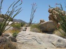 Τα ανθίζοντας δέντρα ocotillo πετούν τις κάμπτοντας σκιές πέρα από ένα πρόσωπο βράχου σε ένα φυσικό ίχνος ερήμων στις δυτικές ΗΠΑ Στοκ φωτογραφία με δικαίωμα ελεύθερης χρήσης