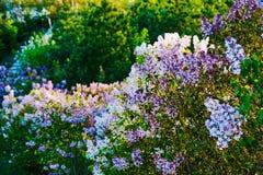Τα ανθίζοντας ιώδη λουλούδια φυσικά Στοκ Εικόνες
