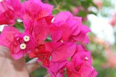 Τα ανθίζοντας λουλούδια καλλιεργούν την άνοιξη Στοκ Εικόνες