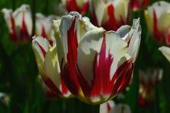 Τα ανθίζοντας λουλούδια τουλιπών, υβρίδιο αστράφτουν, την άνοιξη ηλιοφάνεια Στοκ Εικόνες