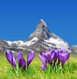 Τα ανθίζοντας πορφυρά λουλούδια κρόκων στο λιβάδι βουνών στο υπόβαθρο τοποθετούν Matterhorn Στοκ Εικόνες