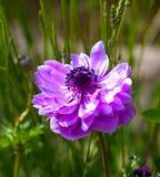 Τα ανθίζοντας φυτά Anemone, οικογένεια Ranunculaceae Στοκ Φωτογραφία
