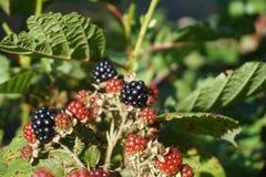 Τα απαγορευμένα φρούτα των αγκαθιών στοκ εικόνα