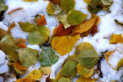 τα απομονωμένα φύλλα το δρύινο λευκό δέντρων σφενδάμνου Στοκ εικόνα με δικαίωμα ελεύθερης χρήσης