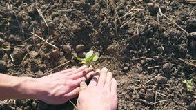 Τα αρσενικά χέρια του αγρότη που φυτεύει τον πράσινο νεαρό βλαστό του ηλίανθου και πιέζουν ήπια ένα έδαφος γύρω από το μικρό σπορ απόθεμα βίντεο