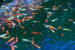 Τα αστεία ψάρια κολυμπούν σε ένα νερό ομορφιάς Στοκ Εικόνα