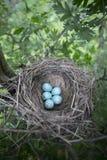 Τα αυγά βρίσκονται σε μια φωλιά σε ένα δέντρο Στοκ Εικόνες