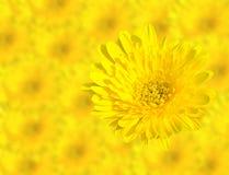 Τα αφηρημένα λουλούδια χρυσάνθεμων ανοίξεων κίτρινα κλείνουν επάνω στο υπόβαθρο λουλουδιών θαμπάδων Αυτό έχει την πορεία ψαλιδίσμ Στοκ Φωτογραφίες