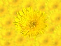 Τα αφηρημένα λουλούδια χρυσάνθεμων ανοίξεων κίτρινα κλείνουν επάνω στο υπόβαθρο λουλουδιών θαμπάδων Αυτό έχει την πορεία ψαλιδίσμ Στοκ Εικόνα