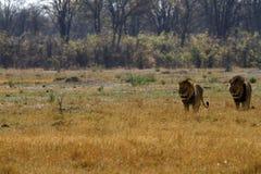 Τα αφρικανικά αρπακτικά ζώα πεδιάδων Στοκ φωτογραφία με δικαίωμα ελεύθερης χρήσης