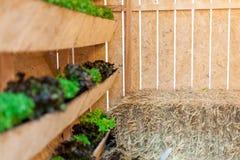 Τα λαχανικά ανάπτυξης στα δοχεία κρεμούν στους τοίχους με το άχυρο   Οργανικό υγιές συστατικό τροφίμων   Φωτογραφία τροφίμων Στοκ Εικόνες